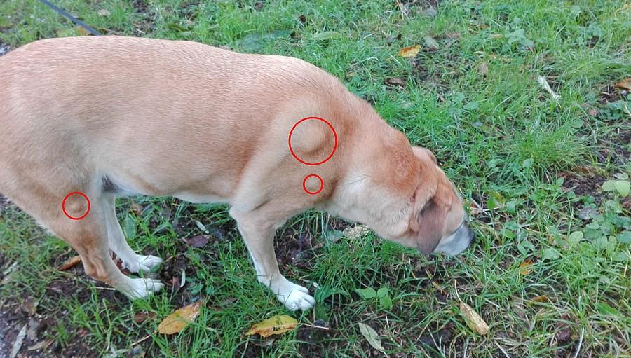 hond met lipomen