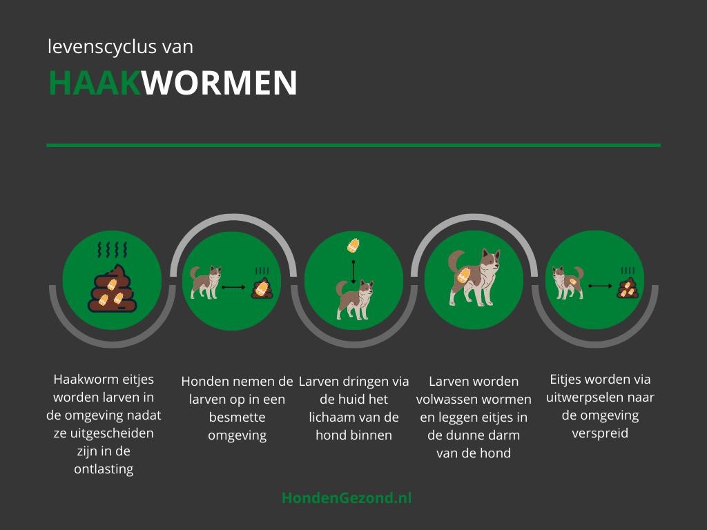 Levenscyclus van Haakwormen in honden