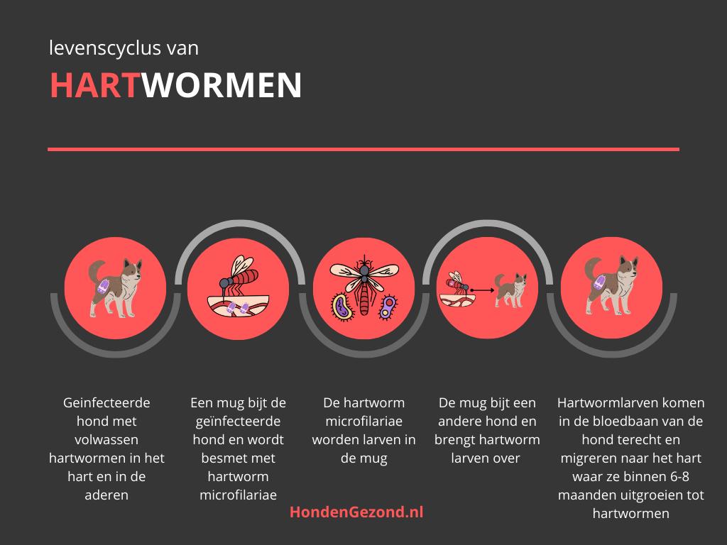 Levenscyclus van Hartwormen bij honden