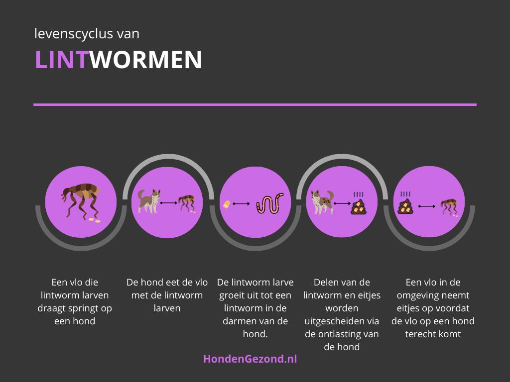 Levenscyclus van Lintwormen bij honden