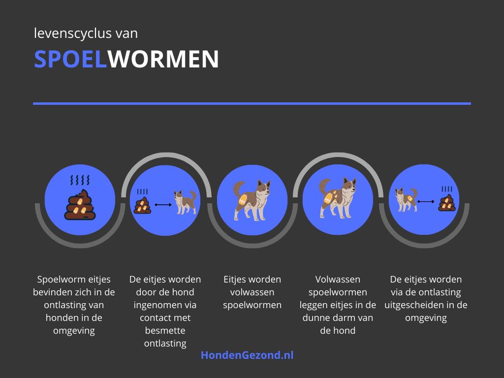 Levenscyclus van Spoelwormen honden