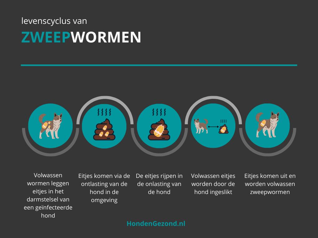 Levenscyclus van Zweepwormen bij honden
